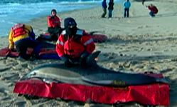 Dead Dolphins on Cape Cod