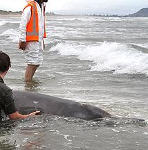 Dead Whales on Papamoa Beach