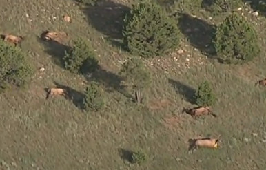 Dead Elk Herd in New Mexico